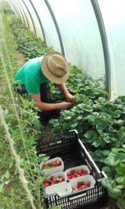 Markus bei der Erdbeerernte