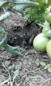 Schutz vor Unwetter: junge Feldhasen unter Paradeiserpflanzen im Zwara-Tunnel