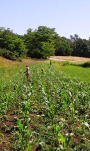 3 aufgeschreckte Rehe: Pflege des Kukuruz