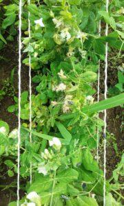 Hilfe kommt - Marienkäferlarven auf Erbsen
