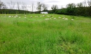 Wiese an Schaf, eine Imepression vom Schmiedberg.